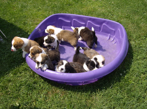 Pups  in pool